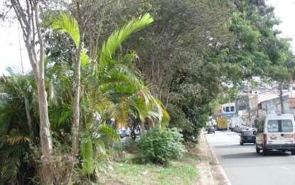 Prefeito quer arrancar árvores de avenida e transformar canteiro em estacionamento